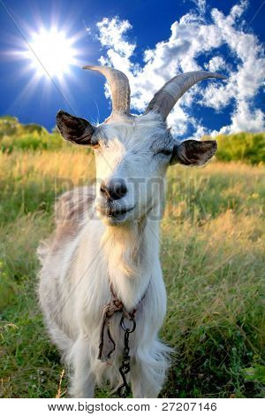 billy goat on meadow sunny day