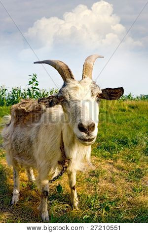 Rural billy goat on meadow