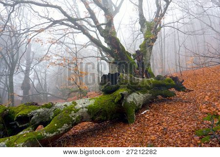Old oak tree in misty forest