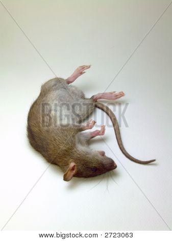 Deceased Rat