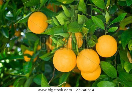 Fresh, ripe organic oranges hanging on an orange tree.
