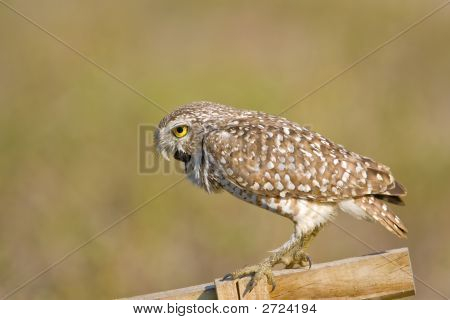 Burrowing Owl Attempting To Expel A Pellet