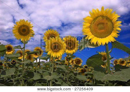 sunflower against blue sky with little honeybee