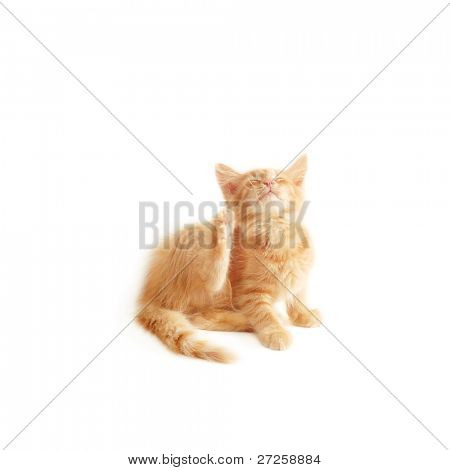 kitten scratching isolated on white background
