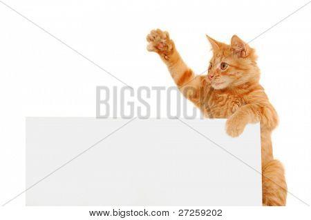 kitten agitator holding blank banner isolated on white background