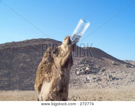 Camel And Water