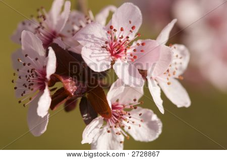 Blossoming Dogwood Tree