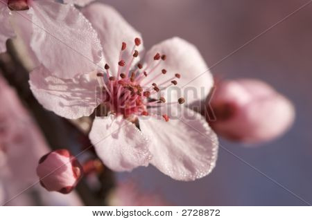 Dogwood Spring Tree Blossoms