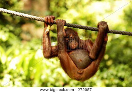 Bored Juvenile Orangutan