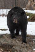Black Bear (ursus Americanus) Stands On Bare Rock In Snow - Captive Animal poster
