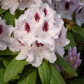 Rhododendron Hybrid Calsap, Rhododendron Hybrid, Close Up Of The Flower Head poster
