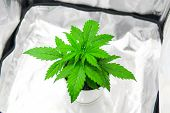 Cultivation Growing Under Led Light. Cannabis Plant Growing. Growing Marijuana At Home Indoor. Marij poster