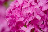 Bursting With Blooms. Showy Flowers In Summer. Hydrangea Blossom On Sunny Day. Flowering Hortensia P poster