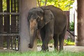 Animal: Thai Elephant (chang), The Official National Animal Of Thailand, Is Indian Elephant (asian E poster