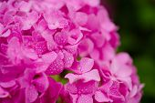 Growing Beautiful Blooms. Pink Hydrangea In Full Bloom. Showy Flowers In Summer. Hydrangea Blossom O poster