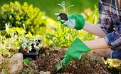 Woman Planting Seedlings In Bed In The Garden At Summer Sunny Day. Gardener Hands With Young Plant.  poster