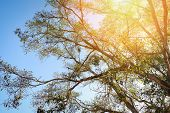 Sunray On Big Tree / The Sun Shining Through On Tree Branch On Blue Sky Background - Down To The Tre poster