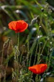 Red Poppy Flowers. Blooming Poppy Flowers. Red Poppy Flowers On A Green Grass.  Garden With Poppy Fl poster