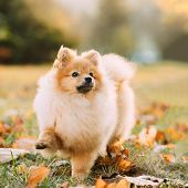 Young Red Puppy Pomeranian Spitz Puppy Dog Step Outdoor In Autumn Grass. poster