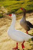 foto of honkers  - two geese walking on a footpath in warm sunset light