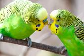 Budgerigar Sits On A Branch. The Parrot Is Brightly Green-colored. Bird Parrot Is A Pet. Beautiful P poster