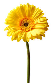 stock photo of single flower  - single flower of yellow gerbera isolated on white background - JPG
