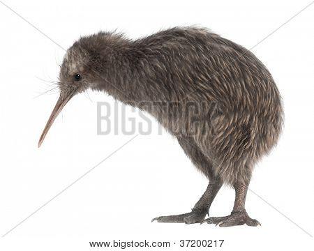 North Island Brown Kiwi, Apteryx mantelli, 5 months old, standing against white background