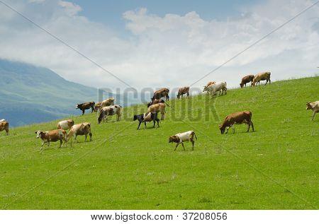 Vacas pastando en el campo verde