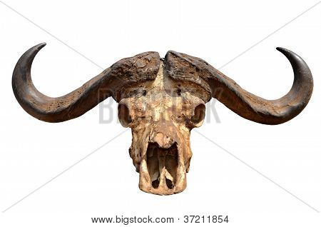 Skull Of African Buffalo Isolated On White
