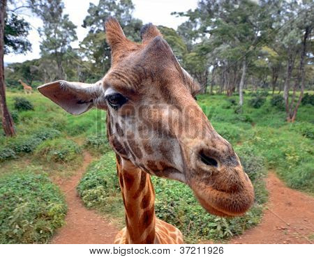 Curious Giraffe's Head Closeup With Nature Background