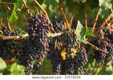 Ripening Okanagan Wine Grapes