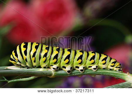 Beautiful black swallowtail caterpillar on stalk of dill in natural setting with flower garden in soft focus in background.  Macro with extremely shallow dof.