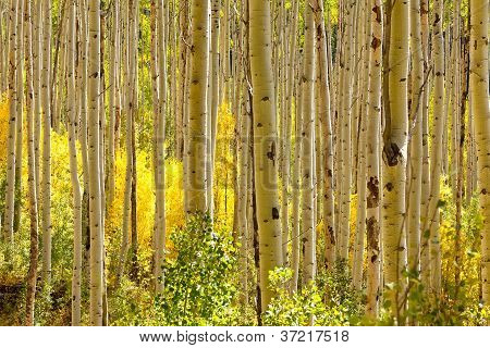 Golden Aspen Trees In Autumn