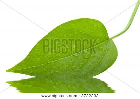 Leaf Green And Fresh Isolation