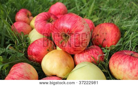 Fallen red apples in green grass