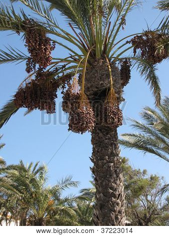 Beautiful Palm Tree With Its Fruits