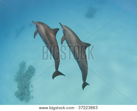 Pair Of Wild Spinner Dolphins
