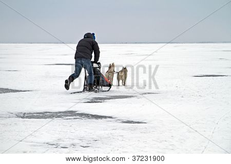 Sledging with dogs on the IJsselmeer in the Netherlands in winter