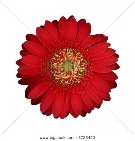 Gänseblümchen-Blume
