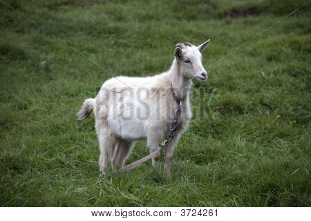 Goat Ordinary