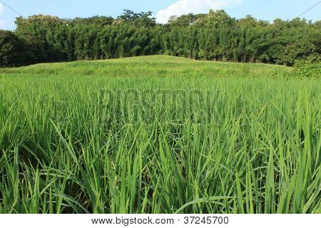 Young Paddy Field With Big Tree And Blue Sky