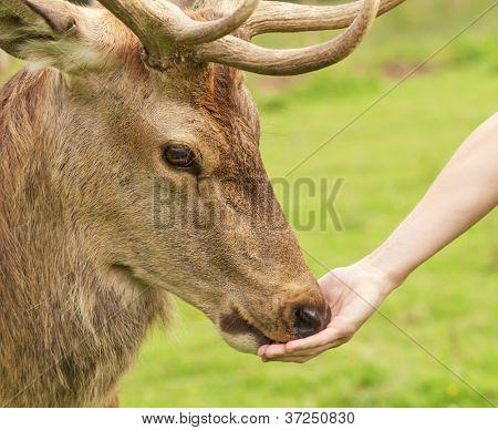 Human hand and a deer