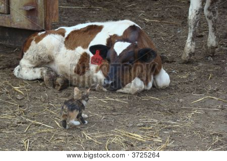 Cow With A Kitten