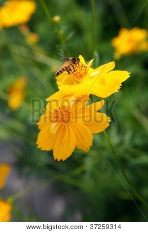 yellow star flower and bee insect flying for honey food in flora garden