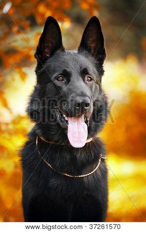 black shepherd dog on the background of autumn