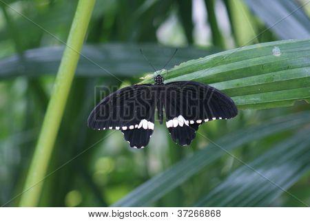 Common Mormon - Papilo Polytes