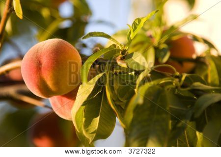 Fresh Peach On The Vine