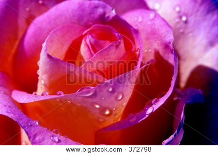 Pink Rose With Waterdrops