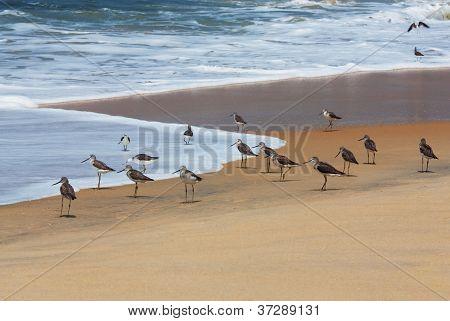 Flock Of Curlew Sandpiper