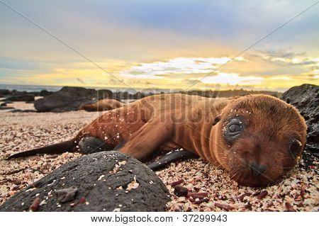 Baby sea lion in the Galapagos Islands resting